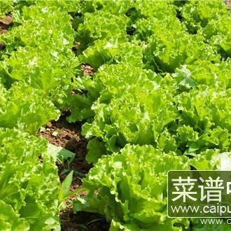 红叶生菜怎么吃呢?如何烹饪呢?