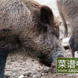 猪奶头部位能不能吃